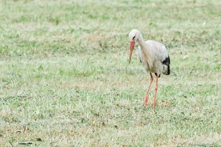 Storch auf den Elbwiesen