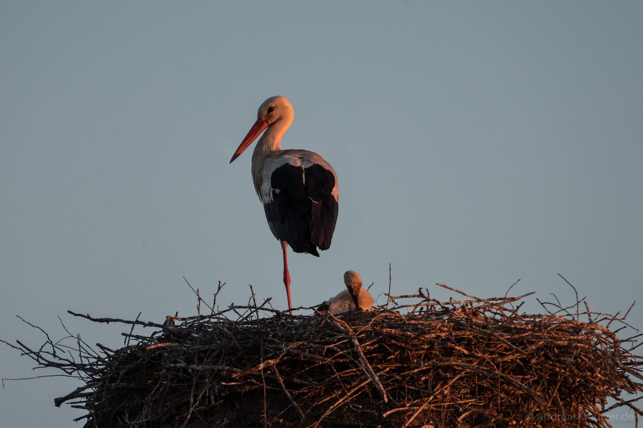 Storch mit Küken an der Elbmarsch