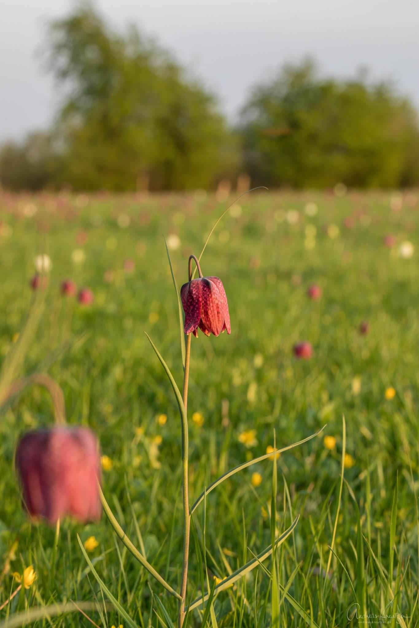 Schachblume auf dem Junkersfeld in Over