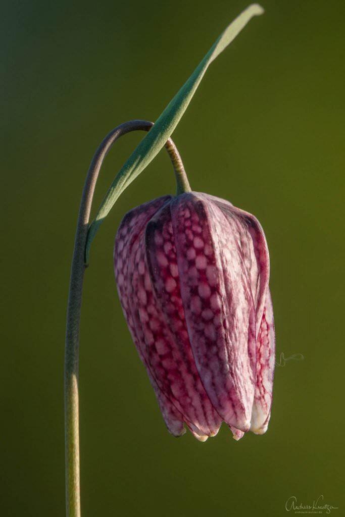 Schachbrettblume in der Seeveniederung