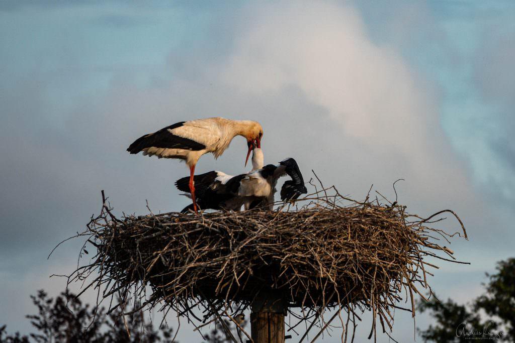 Storch bei der Fütterung der Jungen